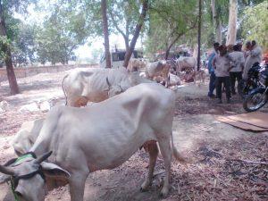 बदरौला गांव के पशु वायरस की चपेट में